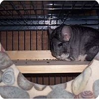 Adopt A Pet :: Chum Chum - Avondale, LA