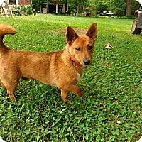 Adopt A Pet :: Corgi - Warrenton, NC