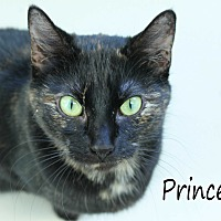 Domestic Shorthair Cat for adoption in Wichita Falls, Texas - Princess