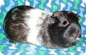 Guinea Pig for adoption in Steger, Illinois - Lucy