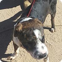 Adopt A Pet :: Rose - pending - Mira Loma, CA