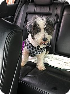 Poodle (Miniature)/Havanese Mix Dog for adoption in Hollywood, California - Panda