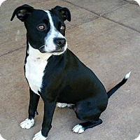 Adopt A Pet :: Ratchet - Sacramento, CA