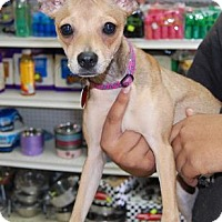Adopt A Pet :: Jazzie - Brooklyn, NY