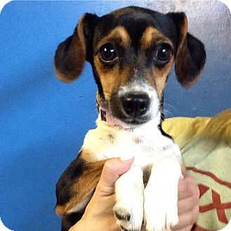 Beagle Mix Puppy for adoption in Pompton Lakes, New Jersey - Tiffany  puppy