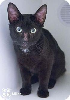 Domestic Shorthair Cat for adoption in Merrifield, Virginia - Miller