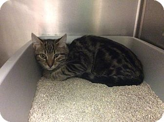 Domestic Shorthair Kitten for adoption in Janesville, Wisconsin - Rocky