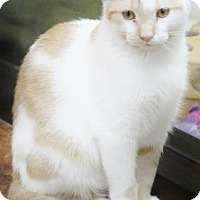 Domestic Shorthair Cat for adoption in Benbrook, Texas - Peter
