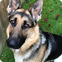 German Shepherd Dog Dog for adoption in Woodinville, Washington - Zeus