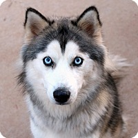 Siberian Husky Dog for adoption in Youngsville, North Carolina - June
