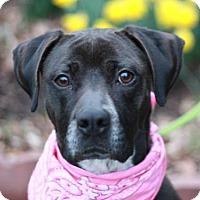 Adopt A Pet :: Remi - ADOPTION IN PROGRESS - Danbury, CT