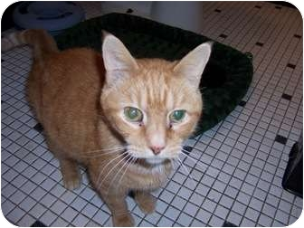 Domestic Shorthair Cat for adoption in West Dundee, Illinois - Griffin