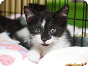 Domestic Shorthair Kitten for adoption in Ocean City, New Jersey - Lilly