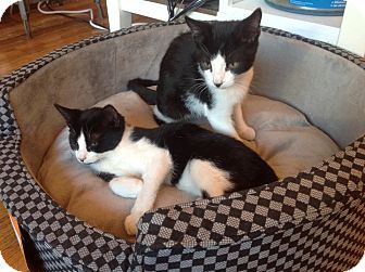 Domestic Shorthair Kitten for adoption in Brooklyn, New York - Bobble