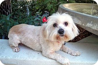 Maltese/Tea Cup Poodle Mix Dog for adoption in Los Angeles, California - BAILEE