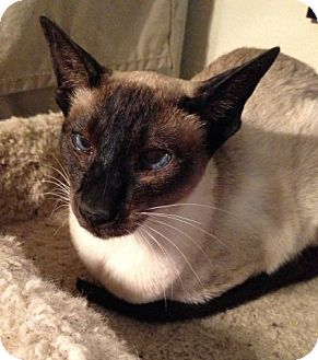 Siamese Cat for adoption in Davis, California - Dovie