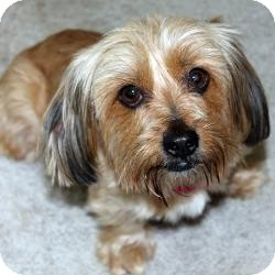 Yorkie, Yorkshire Terrier/Dandie Dinmont Terrier Mix Dog for adoption in Hardy, Virginia - Faith