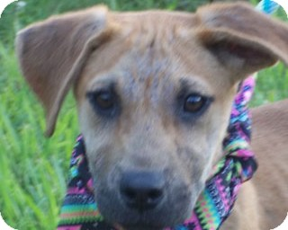 Black Mouth Cur/Labrador Retriever Mix Puppy for adoption in Glastonbury, Connecticut - BOWS/Special Summer Pricing