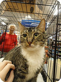 Domestic Mediumhair Cat for adoption in Columbus, Georgia - Faith
