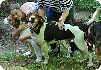 Treeing Walker Coonhound Dog for adoption in Murphy, North Carolina - Buster Brown