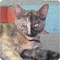 Domestic Shorthair Cat for adoption in Las Cruces, New Mexico - Chelsea