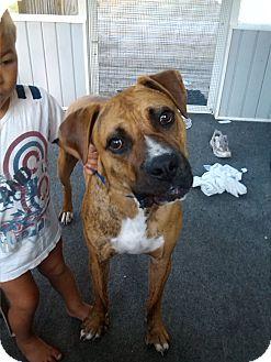 Boxer/American Bulldog Mix Dog for adoption in Jesup, Georgia - Zeus