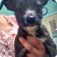 Adopt A Pet :: Trixie - Tampa, FL