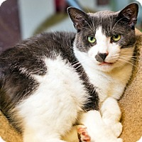 Domestic Shorthair Cat for adoption in Brooklyn, New York - Maximus is Mushy to the Max