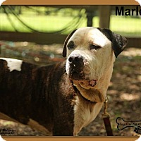 American Bulldog Mix Dog for adoption in Sarasota, Florida - Marley
