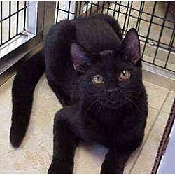 Photo 1 - Domestic Shorthair Cat for adoption in Deerfield Beach, Florida - Castaway