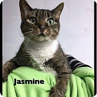 Domestic Shorthair Cat for adoption in Ottumwa, Iowa - Jasmine