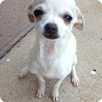 Adopt A Pet :: Daphnie - Gilbert, AZ