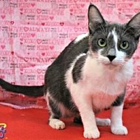 Domestic Shorthair Cat for adoption in Sebastian, Florida - Juniper