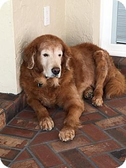 Golden Retriever Dog for adoption in Naples, Florida - Buddy 665
