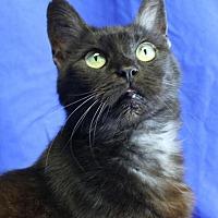 Burmese Cat for adoption in Winston-Salem, North Carolina - Sable