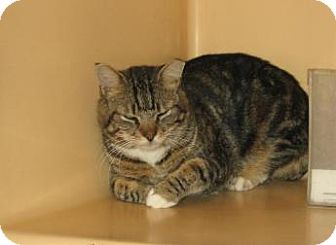 American Shorthair Cat for adoption in Brooklyn, New York - Victor