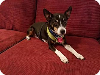 Rat Terrier Mix Dog for adoption in Columbia, Tennessee - Muncho/MS