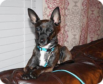 Miniature Pinscher Mix Dog for adoption in Warsaw, Indiana - Mocha