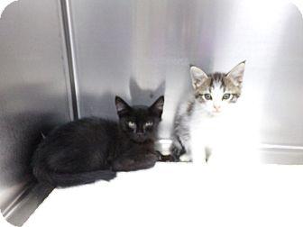 Domestic Shorthair Kitten for adoption in Osceola, Arkansas - AND EVEN MORE KITTENS