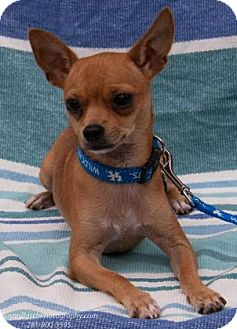 Chihuahua Mix Puppy for adoption in Santa Fe, Texas - Otis