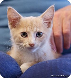 Domestic Shorthair Kitten for adoption in Huntsville, Alabama - Degas