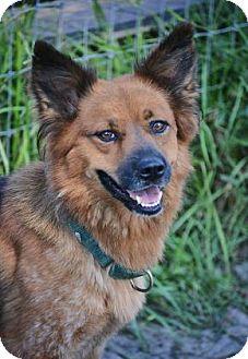 Shepherd (Unknown Type)/Australian Cattle Dog Mix Dog for adoption in Loxahatchee, Florida - Dynasty