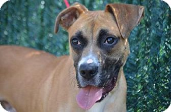 Boxer Mix Dog for adoption in Chester Springs, Pennsylvania - Kevin