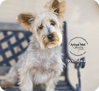 Silky Terrier/Yorkie, Yorkshire Terrier Mix Dog for adoption in Inland Empire, California - WENDELL