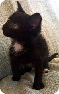 Domestic Shorthair Kitten for adoption in Jefferson, North Carolina - Little Luna