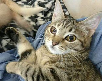 American Shorthair Kitten for adoption in Texarkana, Arkansas - Cherry