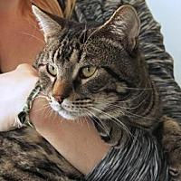 Domestic Mediumhair Cat for adoption in Santa Paula, California - Sammy