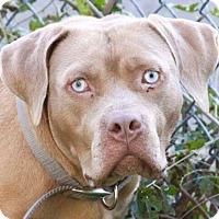 Adopt A Pet :: STORM - Bolingbrook, IL