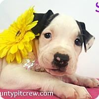 Adopt A Pet :: Sia - Toledo, OH