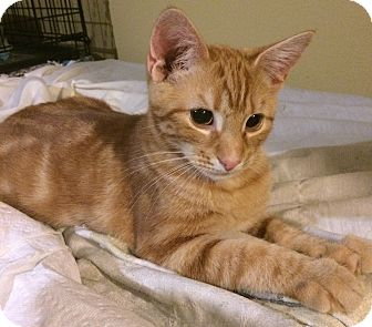 Domestic Shorthair Kitten for adoption in Washington, D.C. - Ollie